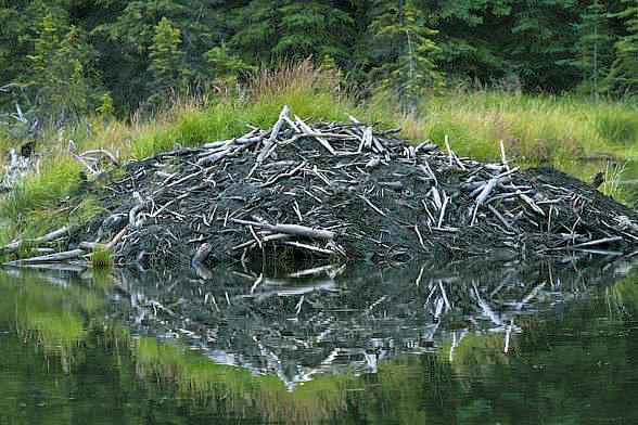 Żeremia bobrów na kanale mazurskim