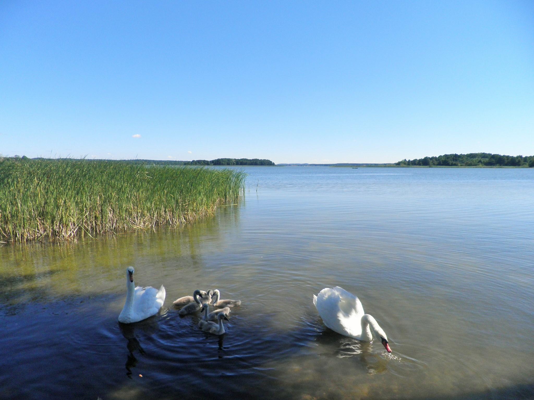Rodzinna atmosfera, łabędzia rodzinka, Kal, jezioro Święcajty