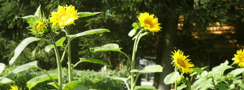 Słoneczniki w naszym ogrodzie, Kal, jezioro Święcajty